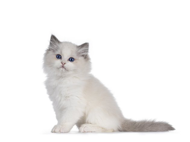 Ragdoll cat kitten on white background