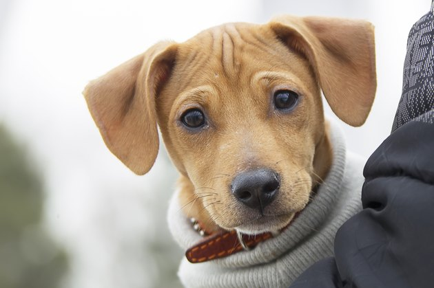 cute puppy with wrinkly forehead in man's arms