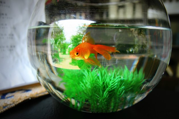 Close-Up Of Goldfish Swimming In Fishbowl At Home