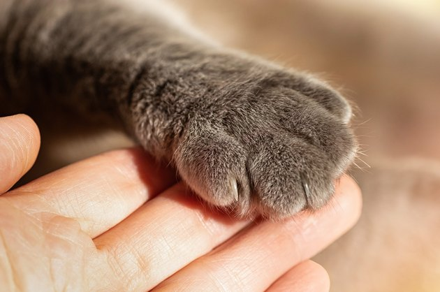 Gray fluffy cat's paw in man's hand. Friendship with a pet. Help and care for animals.