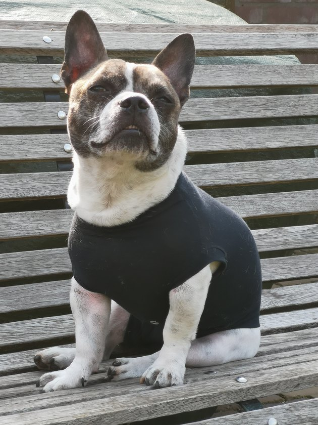 Chibull in a dog bodysuit