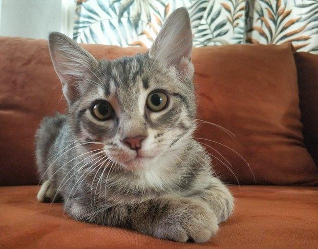 Cute gray kitten reach a sofa