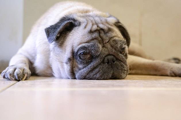 Sleepy pug dog lying on the floor.