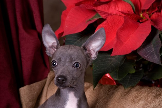 Dog with a poinsettia behind it