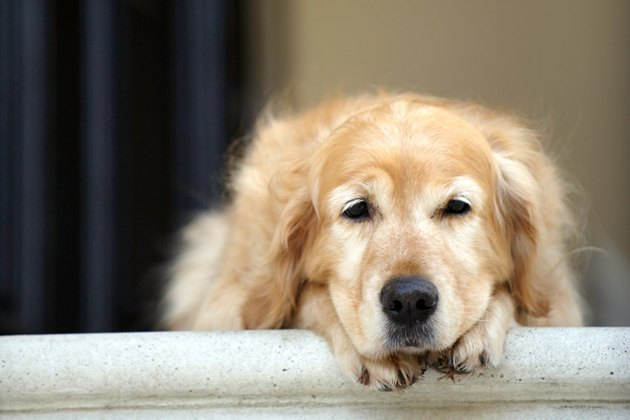 sad dog looking out window