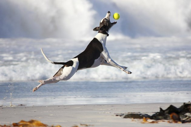 dog catches tennis ball in mid-air