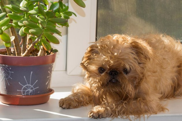 Dog and household plant