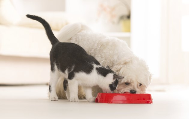 cat and dog eating out of bowl