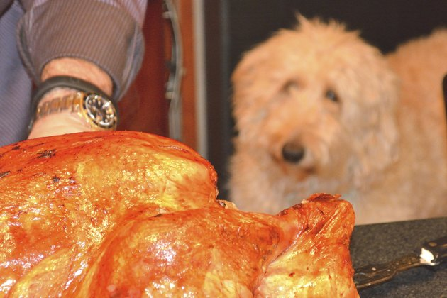 dog with a roast turkey