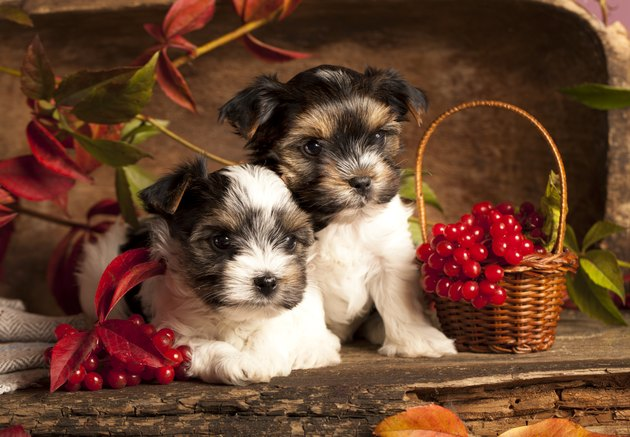 two dogs next to baskets of cranberries