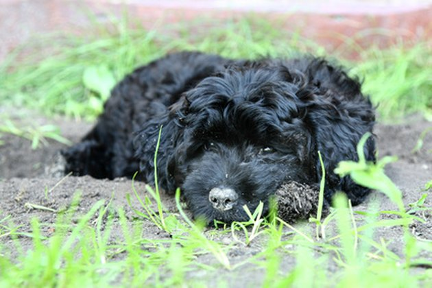 Black small poodle puppy