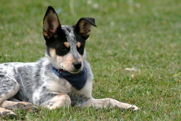 Heeler Pup 15