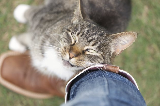 Cat rubbing against leg affectionately