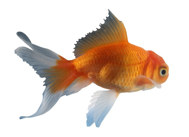 Goldfish, side view