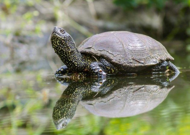 European turtle