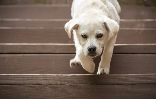 Puppy going down the stairs