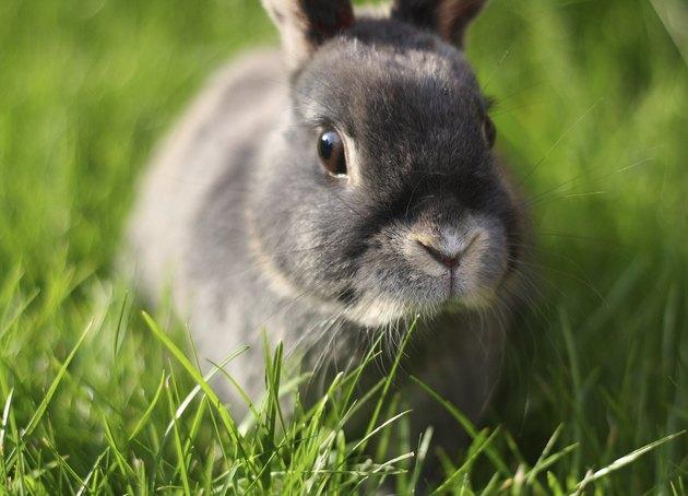 Grey Rabbit at Dusk