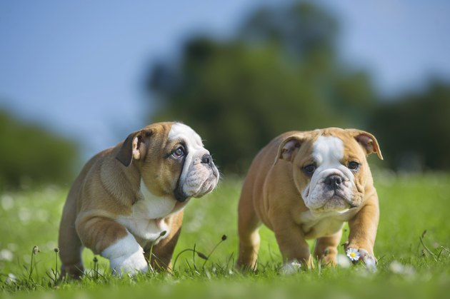 Cute happy english bulldog dog puppies playing outdoors