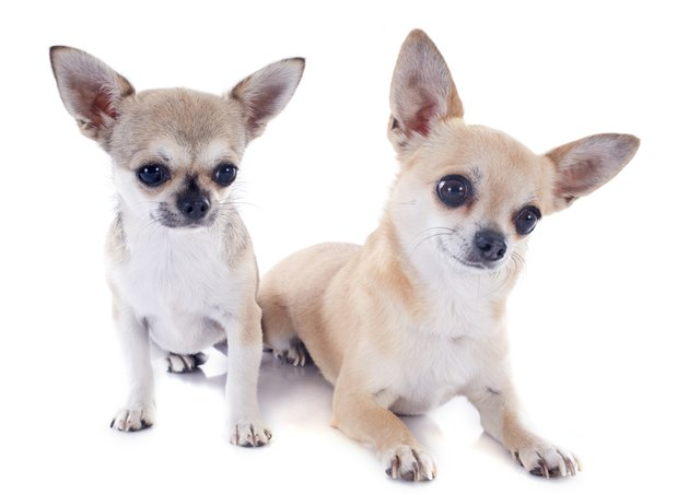 puppy and adult chihuahuas
