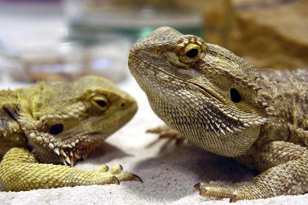 lizard bearded dragon