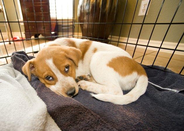 Texas Red Heeler Pup.