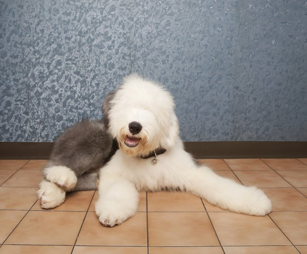old english sheep dog lied in home room