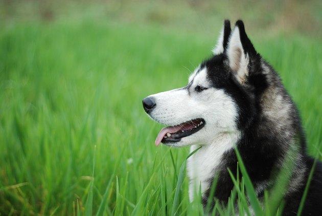 Husky in grass