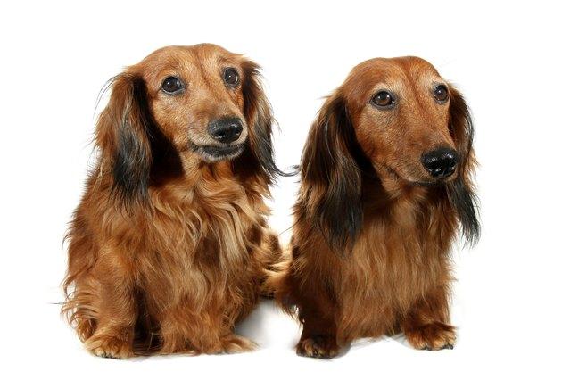 Pair dog long-haired dachshund pet