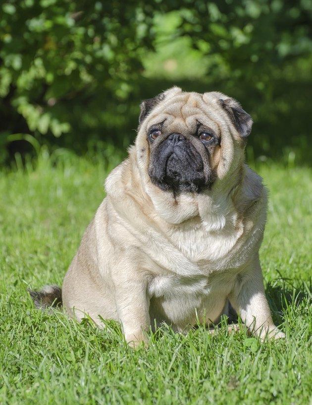 Fat pug dog