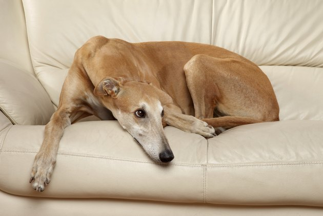 Sad Greyhound dog