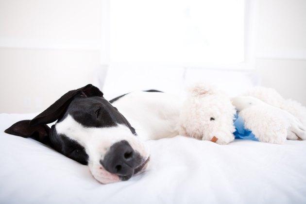 Dog Great Dane sleeping in bed