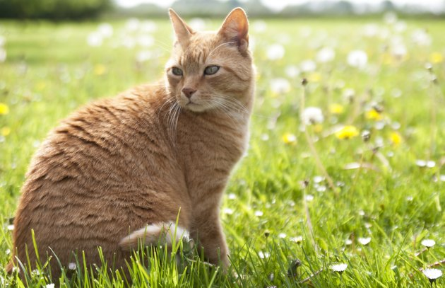 Orange ginger cat sitting in grass with flowers horizon