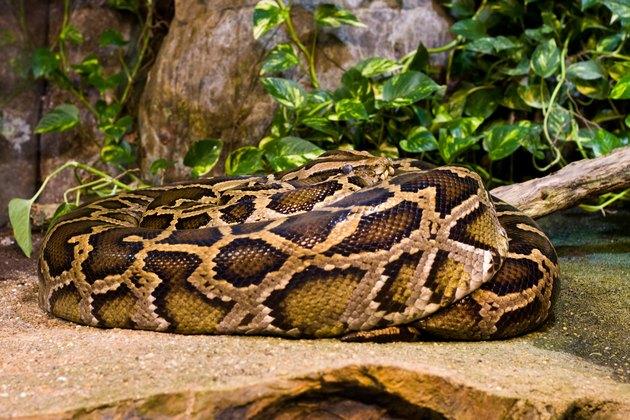 Tiger Python (python molurus bivittatus)