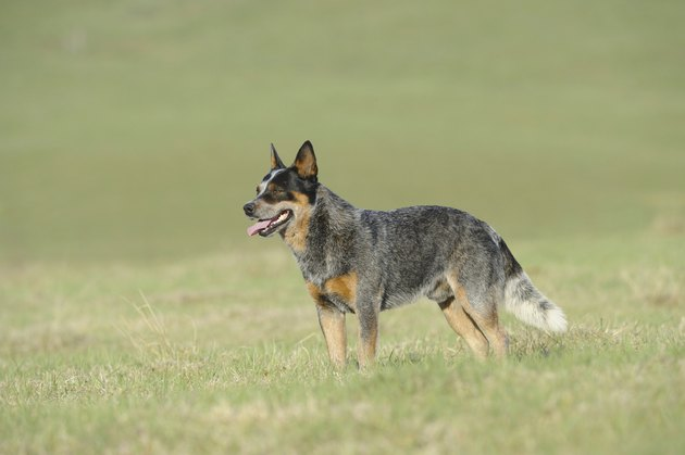 Stud Australian Cattle Dog
