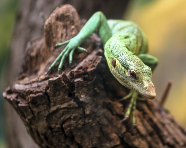 Emerald Tree Monitor, Varanus prasinus