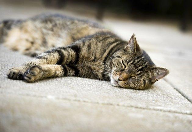 Lazy Tabby Cat Sleeping on Concrete Patio