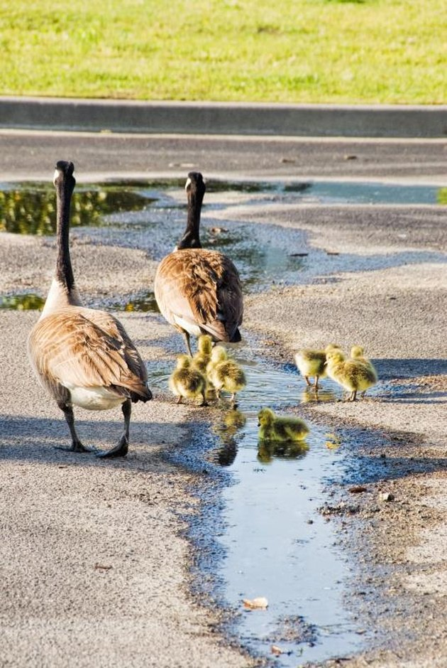 Canada geese family which includes the male, the female and the goslings are walking to a nearby lake for their first trip together to the water from a parking lot.