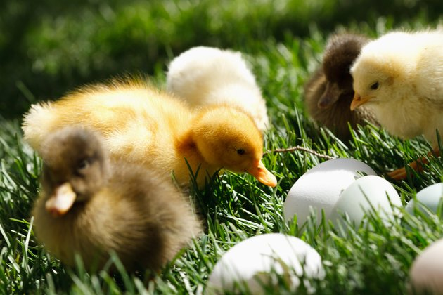 Fellow chicks and ducks on lawn