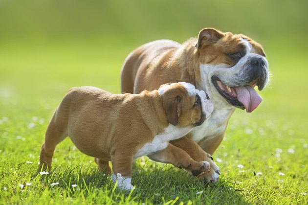 Cute bulldog puppy following its mother