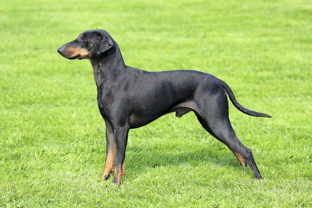 The typical black Manchester Terrier