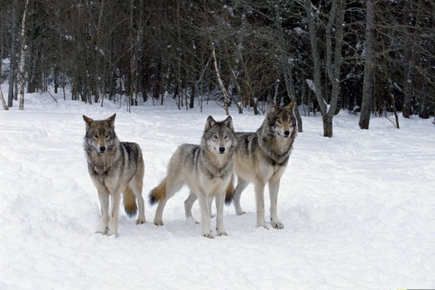 Pack of wolves , Canada