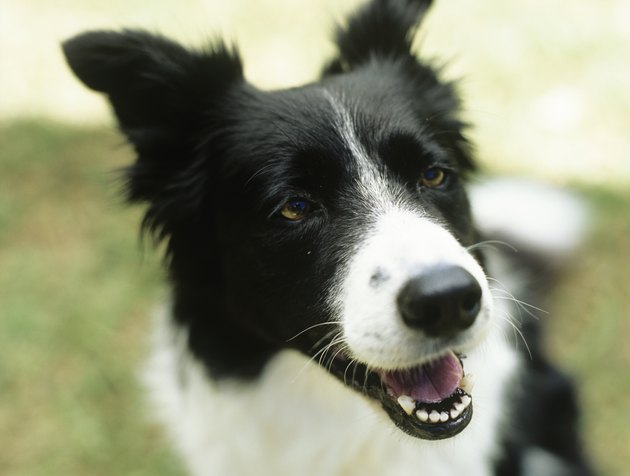 Border collie sitting on grass,close-up