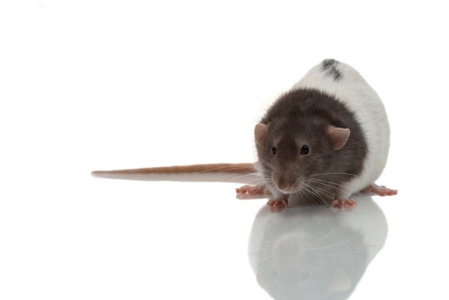Studio shot of live rat on reflective surface