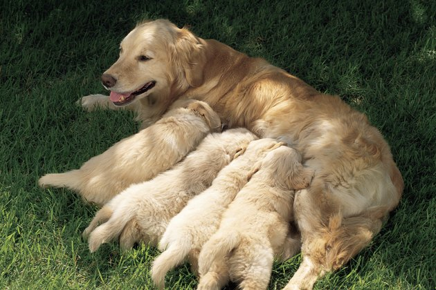 Golden retriever nursing puppies