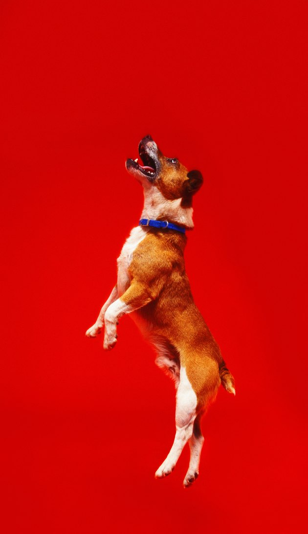 shot of a dog leaping