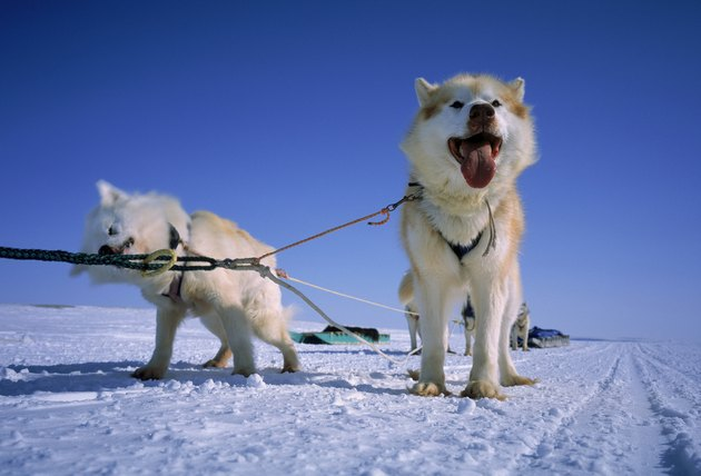 Huskies  Greenland