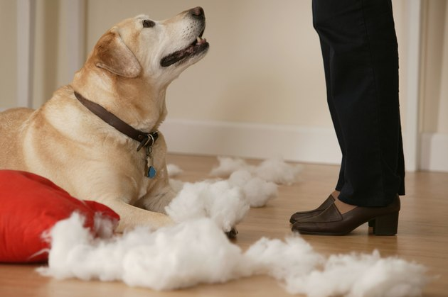 Dog tearing stuffing out of a pillow