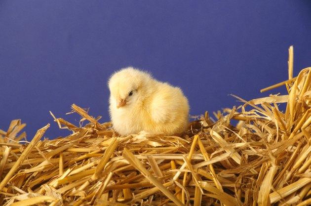 Chick sitting on straw