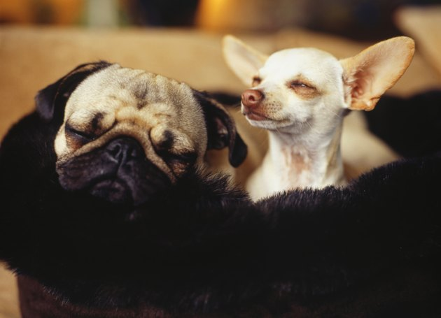 Chihuahua and Pug side by side, close-up