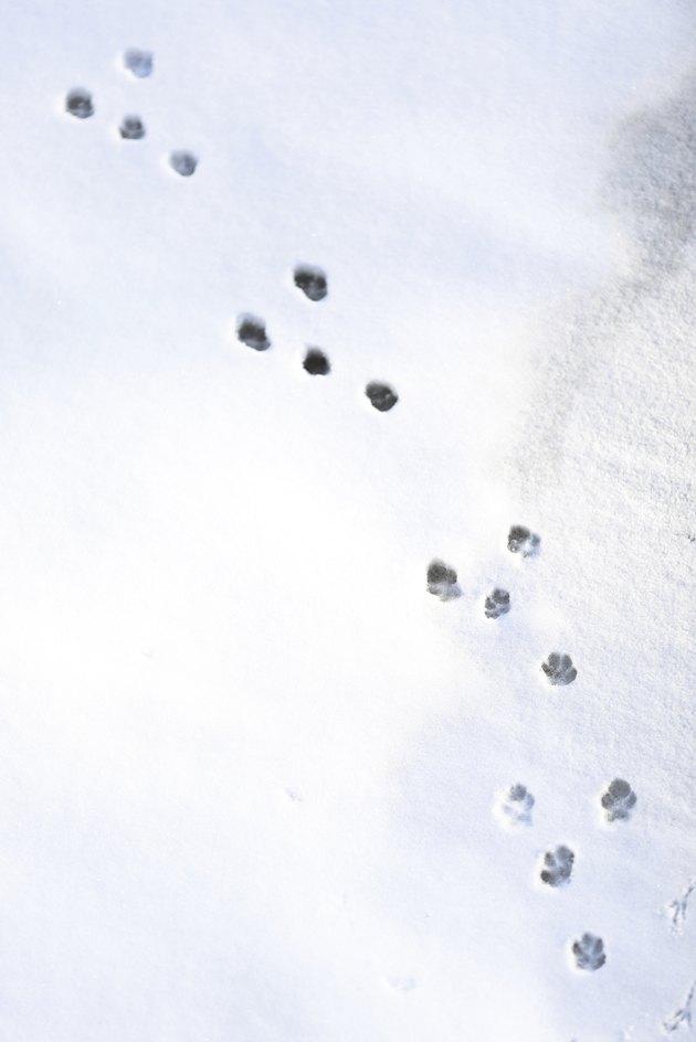 Rabbit tracks in snow in winter.